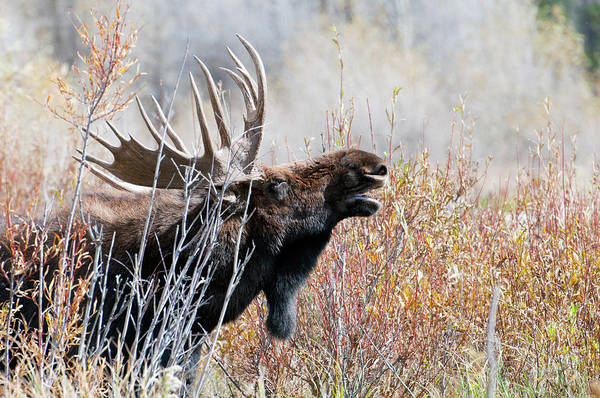 Wall Art - Photograph - Bull Moose by William Mullins