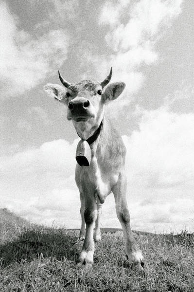 Photograph - Bull Standing Atop Mountain by Mecky