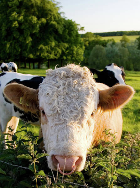 Domestic Animals Photograph - Bull, The Cotswolds, Uk by Tim Graham