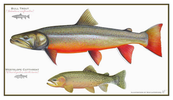 Wall Art - Drawing - Bull Trout And Westslope Cutthroat Illustration by Nick Laferriere