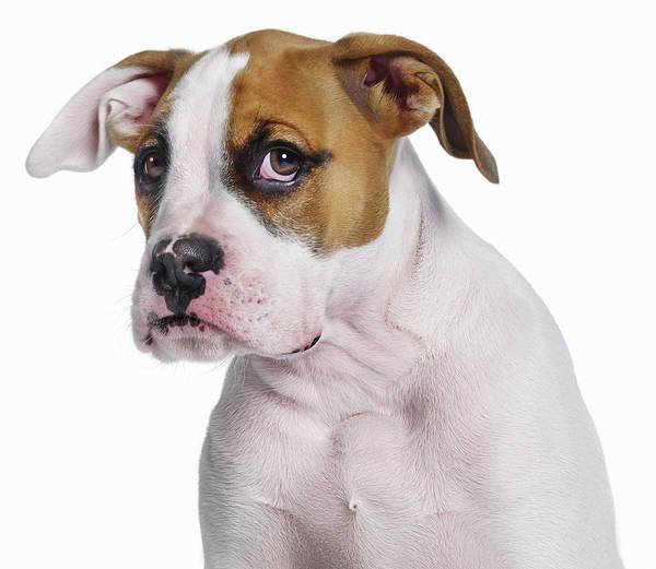 Breed Of Dog Photograph - Bulldog Boxer Cross by Gandee Vasan