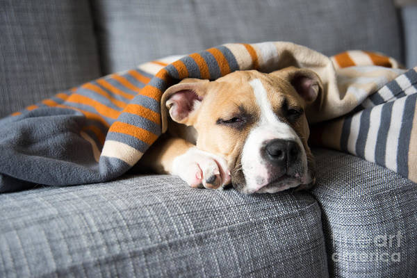 Wall Art - Photograph - Bulldog Mix Puppy Sleeping On Gray Sofa by Anna Hoychuk