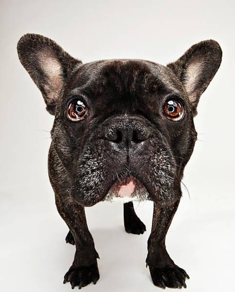 Staring Photograph - Bulldog Staring At Camera by Evan Kafka