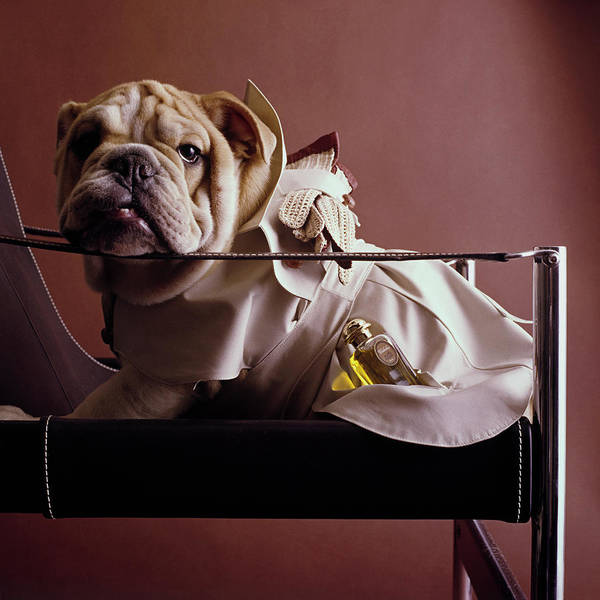 Wall Art - Photograph - Bulldog With Caleche Perfume By Hermes by Fotiades