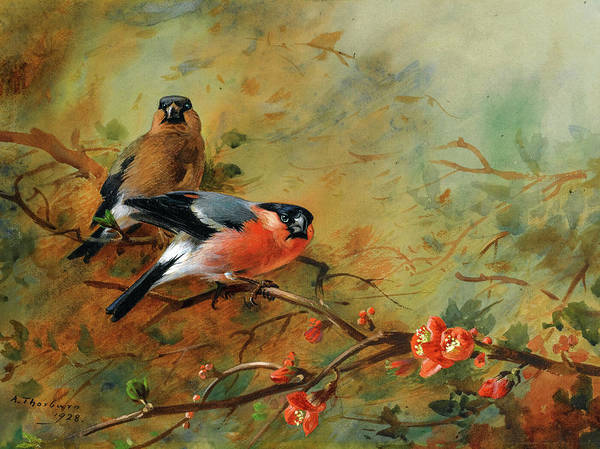 Wall Art - Painting - Bullfinches And Pyrus Japonica, 1928 by Archibald Thorburn