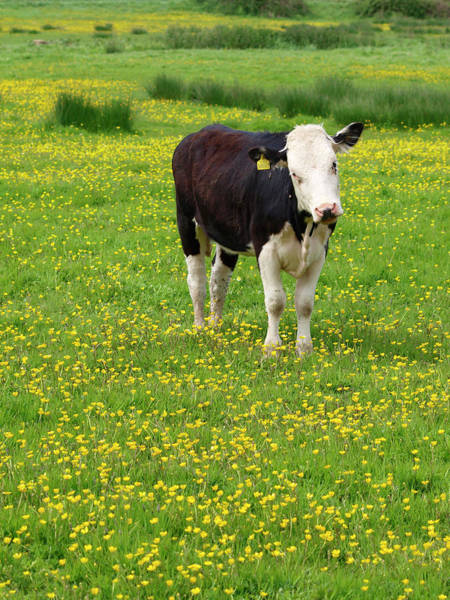 Photograph - Bullock In Field by Myloupe/uig