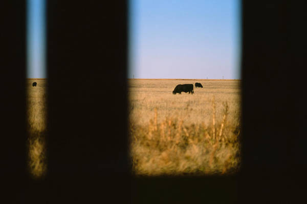 Photograph - Bullwatching by Carl Young