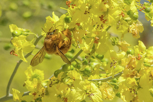 Photograph - Valley Carpenter Bee 7087-041419 by Tam Ryan