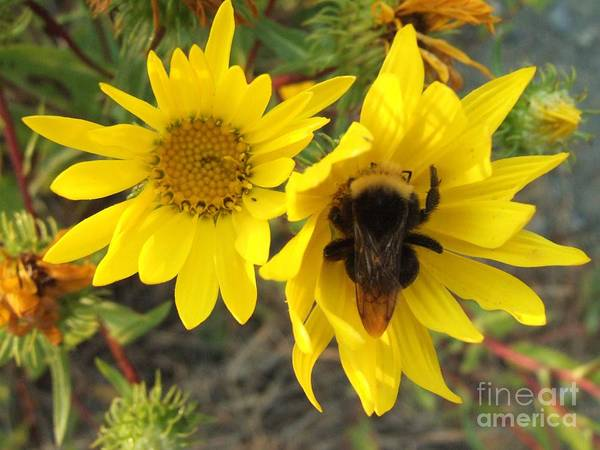 Photograph - Bumble Bee In Yellow Daisy by Delores Malcomson
