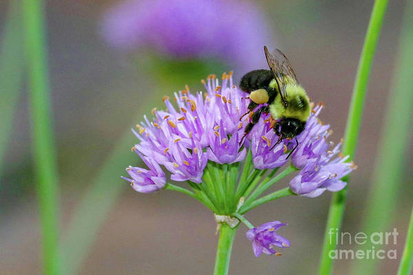 Photograph - Bumble Bee On Lavender by Susan Rydberg