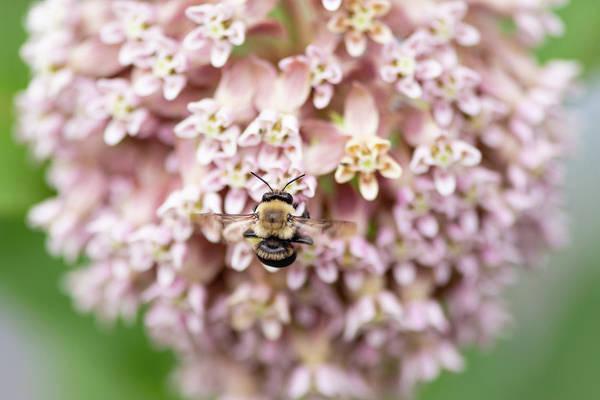 Photograph - Bumble Bee On Milkweed by Todd Henson