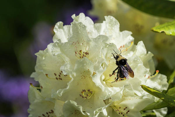 Photograph - Bumble Bee On Rhododendron by Robert Potts