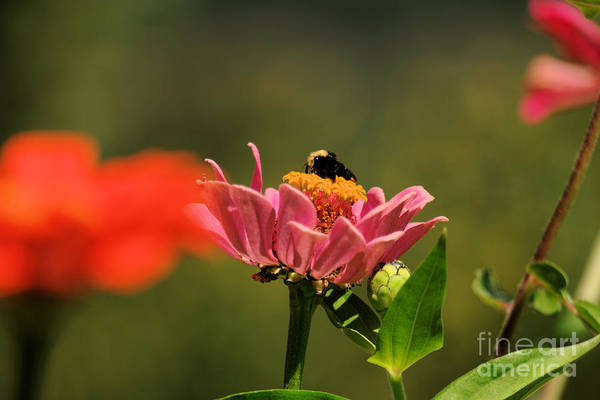 Wall Art - Photograph - Bumblebee At Work  by Jeff Swan