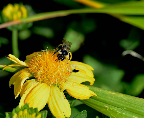 Photograph - Bumblebee At Work by Kae Cheatham