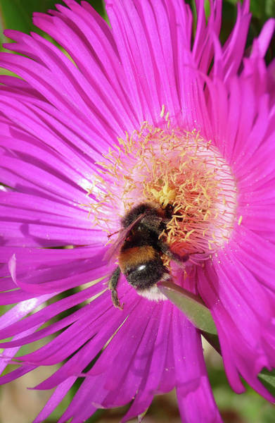 Photograph - Bumblebee Collecting Pollen From Ice Plant by Steve Estvanik