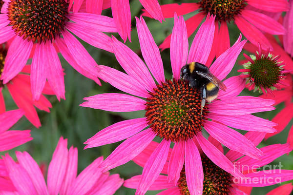 Photograph - Bumblebee On Echinacea Glowing Dream Flower by Tim Gainey