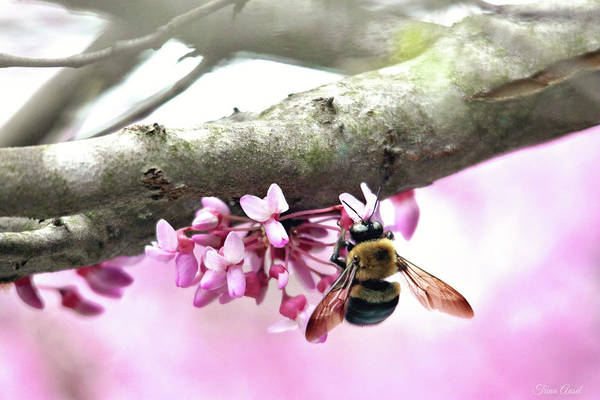Photograph - Bumblebee On Redbud Flower by Trina Ansel