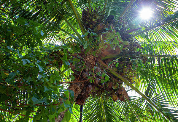 Photograph - bunch of Coconuts by Anthony Jones