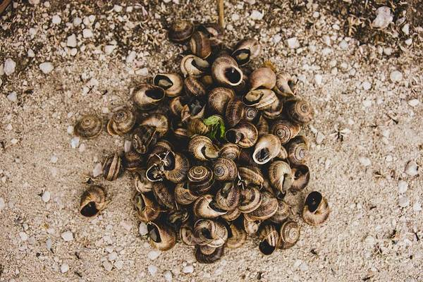 Photograph - Bunch Of Snails Collected On The Ground by Joaquin Corbalan