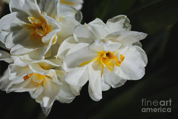 Photograph - Bunch Of Spring, Daffodils by Joy Watson