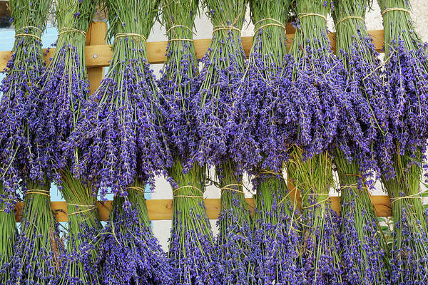 Hanging Photograph - Bunches Of Lavender Hanging On by Cornelia Doerr