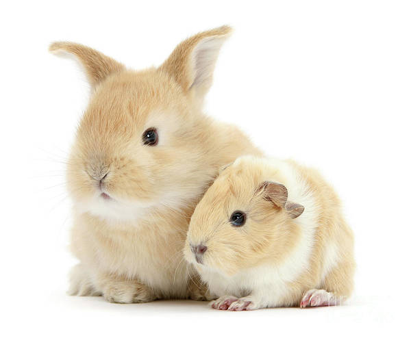Photograph - Bunny And Guinea Friends by Warren Photographic