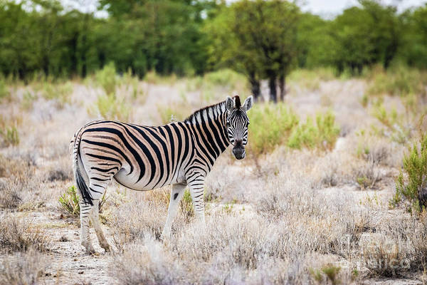 Photograph - Burchell's Plain Zebra, Namibia by Lyl Dil Creations