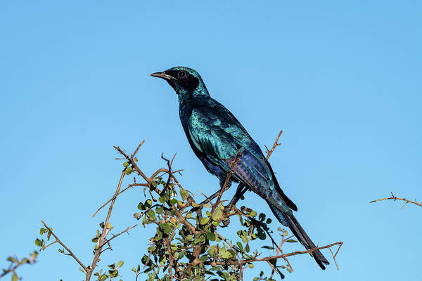 Photograph - Burchell's Starling by Mark Hunter