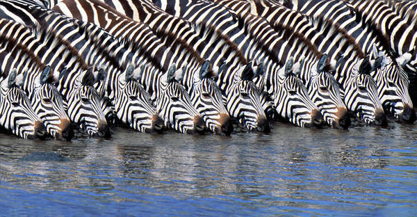 Coordination Wall Art - Photograph - Burchells Zebras Drinking From A River by Mike Hill