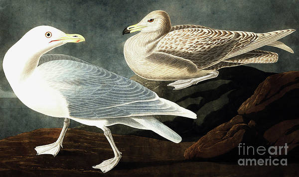 Wall Art - Painting - Burgomaster Gull, Larus Glaucus By Audubon by John James Audubon