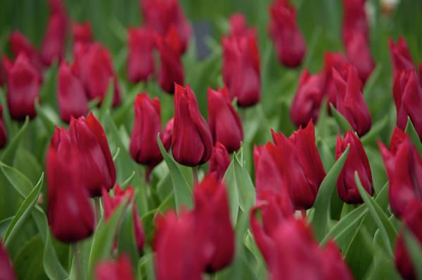 Photograph - Burgundy Colored Tulipa Hong Kong by Jenny Rainbow