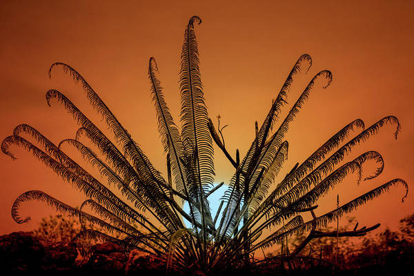 Photograph - Burmese Fern At Sunset by Chris Lord