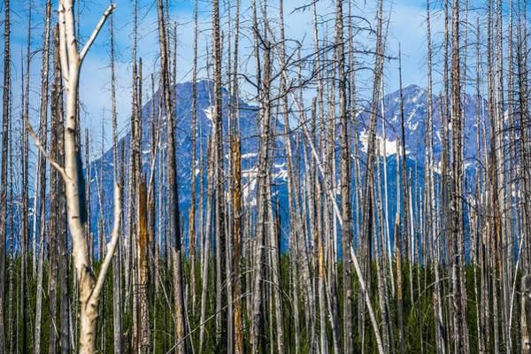 Photograph - burnt trees against cloudy sky, West Glacier, Going-to-the-Sun R by Alex Grichenko