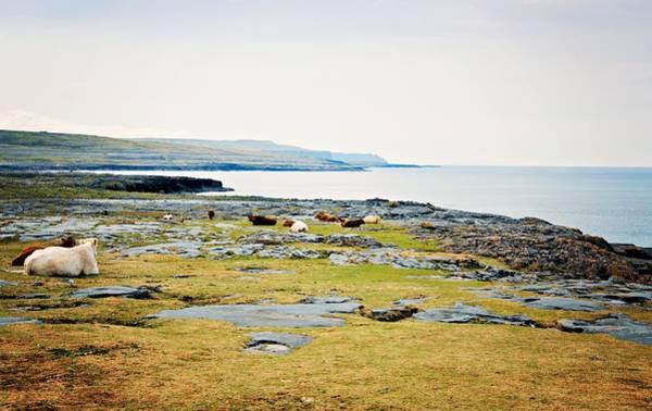 The Burren Photograph - Burren Cows by Michelle Mcmahon