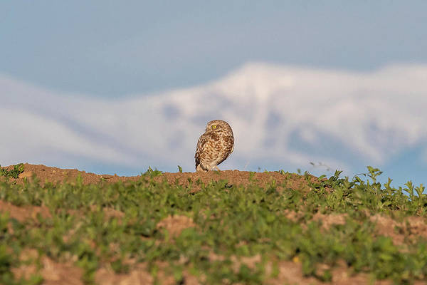 Photograph - Burrowing Owl Against The Rocky Mountains by Tony Hake
