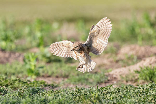 Photograph - Burrowing Owl Arrives With A Meal by Tony Hake