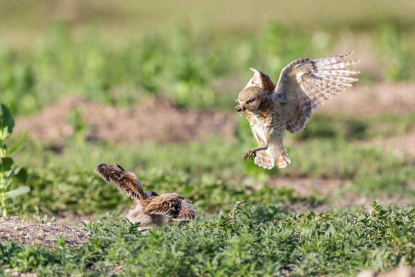 Photograph - Burrowing Owl Arrives With Breakfast by Tony Hake