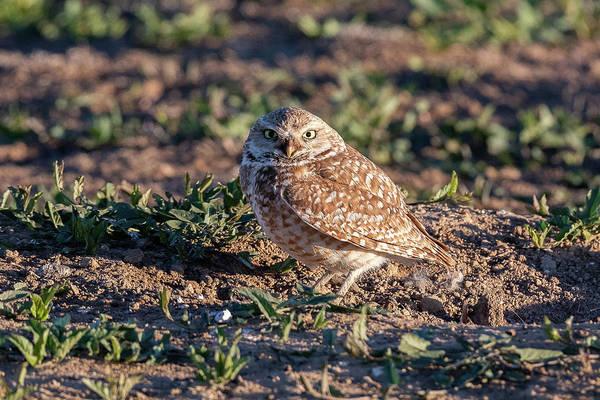 Photograph - Burrowing Owl Attitude by Tony Hake