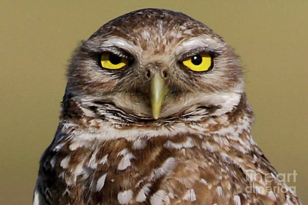 Photograph - Burrowing Owl Close-up by Meg Rousher