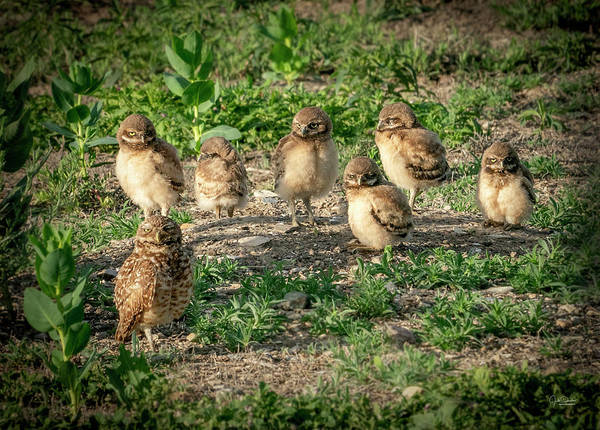 Photograph - Burrowing Owl Family by Judi Dressler