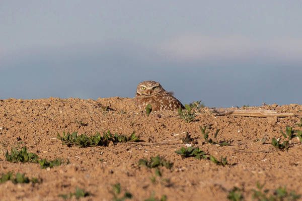 Photograph - Burrowing Owl Hunkers Down by Tony Hake