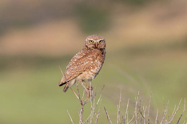 Photograph - Burrowing Owl In The Colorado Foothills by Tony Hake