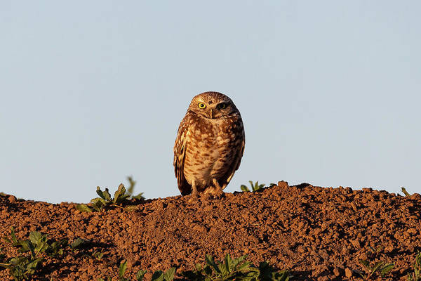 Photograph - Burrowing Owl In The Golden Glow Of Sunrise by Tony Hake