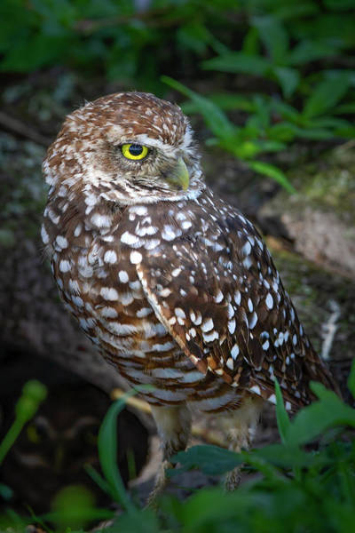 Wall Art - Photograph - Burrowing Owl In The Wild by Mark Andrew Thomas