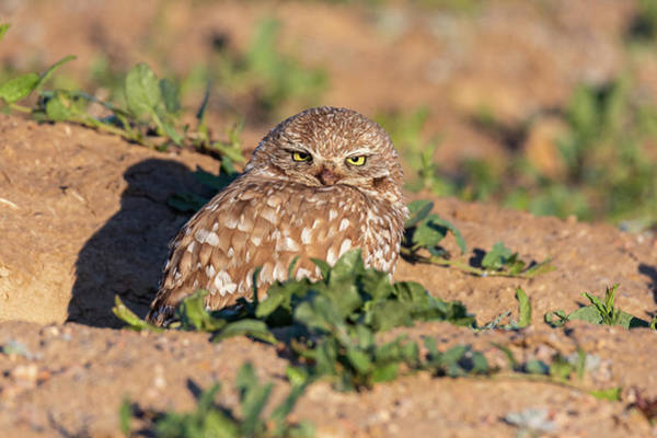 Photograph - Burrowing Owl Keeps Watch Through Squinted Eyes by Tony Hake