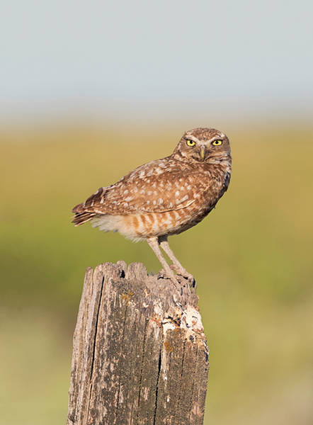 Photograph - Burrowing Owl Looking At You by Loree Johnson