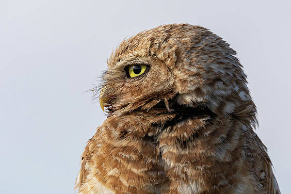 Photograph - Burrowing Owl Looks Into The Sun by Tony Hake