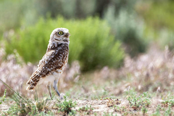 Photograph - Burrowing Owl by Michael Chatt
