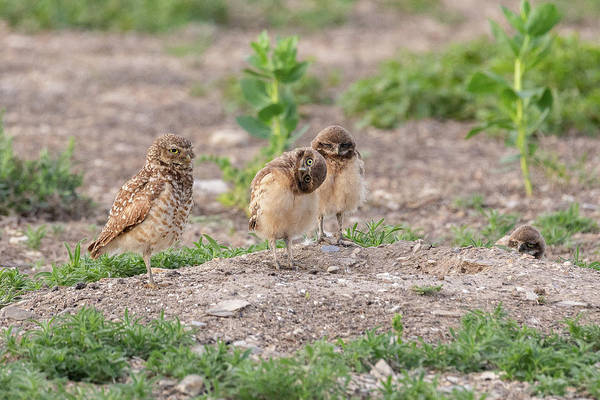 Photograph - Burrowing Owl Owlet Has Some Fun by Tony Hake