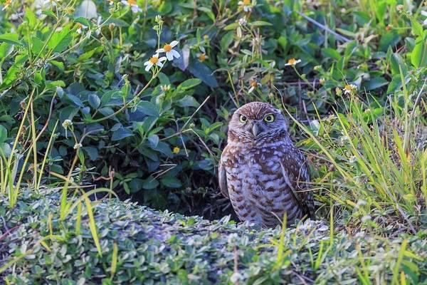 Wall Art - Photograph - Burrowing Owl by Paul Schultz